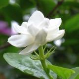 jas-jasmine