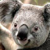koalahk