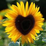 sunflower_sg