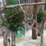 koalalalabear