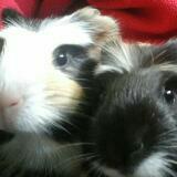 my_mini_guinea
