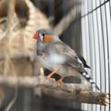 pigeon_