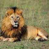 lionking1215
