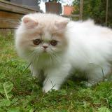 persiancats_