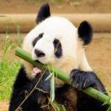 pandawai