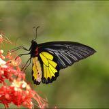 birdwing02