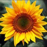 suncoloursky