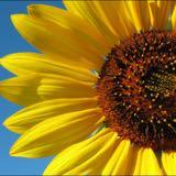 sunflower_selects