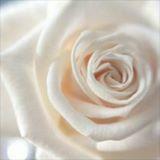 rose8209