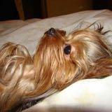 the_yorkie_times