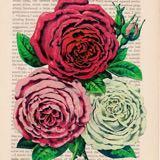 donna_rose