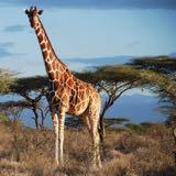 giraffe91