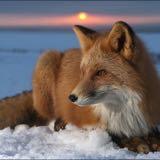 snowfox101