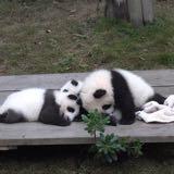 pandaforic
