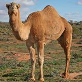camel_168