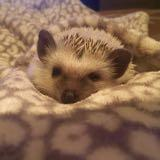 hedgehoglover