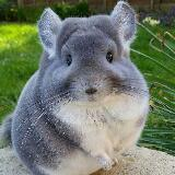 chinchilla123