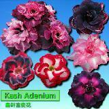 kash.adenium