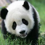 panda016