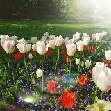 lavenderpinks