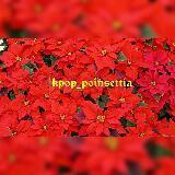 kpop_poinsettia