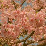 cherryblossomflower