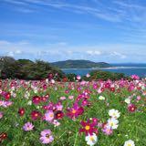 cora_flower