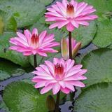 lotuschic
