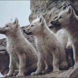 3littlewolves