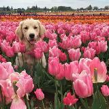 tulipslovers