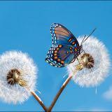 dandelion_butterfly