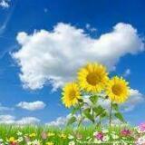 flower.sun