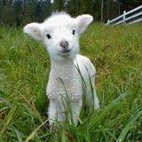 little_sheepp