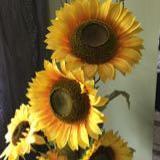 sunflowerstar