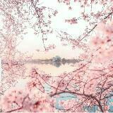 cherry_blossoms23