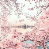 cherry_blossoms23