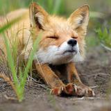 lil.fox