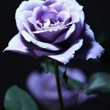 isa_rose