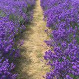 lavender03