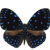 noirpapillon