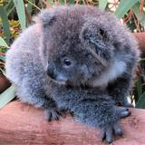 koalaarcher