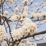 blossomingspring