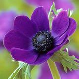 violet_sweetheart