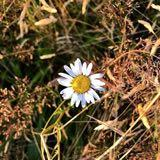 wilddaisy