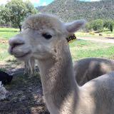 alpacagreen