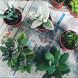 succulentov