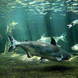 bigchaophrayacatfish