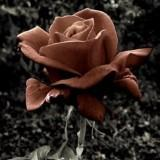 brownrose