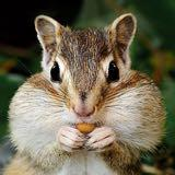 chipmunk_retail