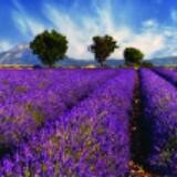 lavenderlover59